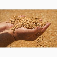Закуповуємо (вологу кукурудзу, чи не кондицію) По Житомирській області