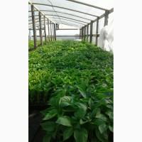 Замовлення на вирощування розсади