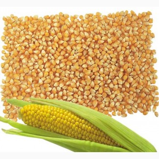 Закупка зерна кукурудзи у виробника, дорого