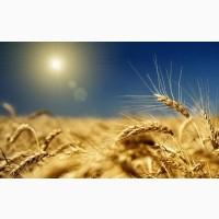 Куплю пшеницу, ячмень нового урожая