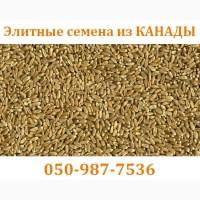 Озимый элитный канадский сорт CANMOR – семена озимой пшеницы