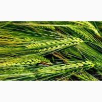 Семена, посевной материал Ячменя Буффало Buffalo