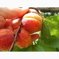 Продам саджанець Абрикос садовий урожайний