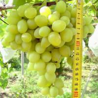 Виноград. Столовые сорта винограда оптом с поля.Отличные вкусовые качества