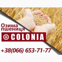 Середньоранній сорт озимої пшениці Colonia (Лімагрейн)