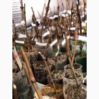 Вегетирующие саженцы винограда столовых сортов, 30 сортов