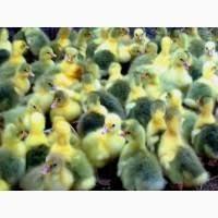 Продам яйца гусей мамутов на инкубацию