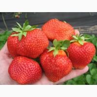 Продам під замовлення свіжу ягоду полуниці