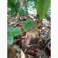 Куплю гриби білі