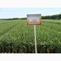 Яра пшениця Струна Миронівська