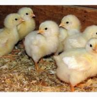 Продам цыплят Джерсийский гигант и Орпингтон = 50 гр. 1шт. апрель-сентябрь г. Днепр, АН7