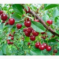 Шукаємо фермерів в Закарпатті, що займаються вишнею