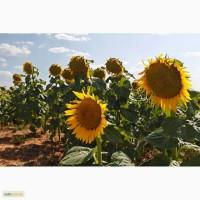 Предлагаем семена подсолнечника под Евролайтинг