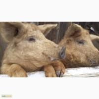 Продам свиней живым весом Венгерская Мангалица