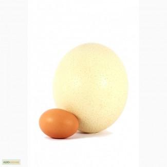 Продам страусиные яйца