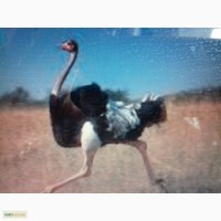 Кожа и когти страуса африканского