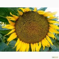Посевной подсолнечник под евролайтинг Аракар семена подсолнуха 2017