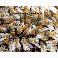 Пчеломатки Бакфаст Ф1 от B-65