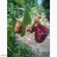 Саженцы засухоустойчевой малины Геракл