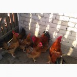 Продам инкубационное яйцо кур породы Кучинская юбилейная