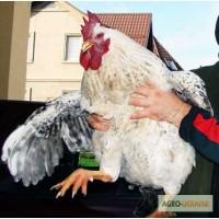 Курчата порід Майстер Грей, Іспанка, Голошейка, добові і підрощені
