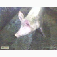 Закупка свиней живым весом ДОРОГО