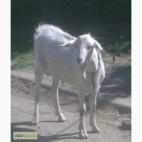 Заано-нубийский козёл, случка