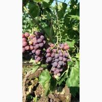 НЕДОРОГО продам виноград оптом с поля