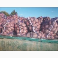 Продам продовольчу картоплю сорт рокко 10 т