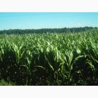 Семена кукурузы Моника, Новый, Здобуток (МАИС)