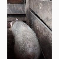 Продам 2-і свиноматки (велика біла)