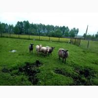 Продам вівці порода Карпатська та Романівська