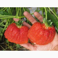Касетна розсада полуниць (клубніки, ягід) Азія. 100% врожай в перший рік