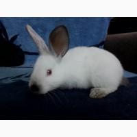 Продам кроликов Полтавское серебро и Калифорния