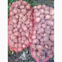 Продам картоплю. Сорт Рів#039;єра, Тайфун. В сітках