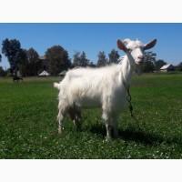Продам 2 коз