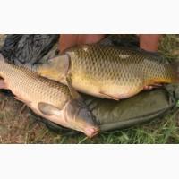 Продам рыбу живую карп карась линь щука толстолоб и раки живией