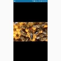 Продам матки карпатки тип вучковський також можна заказати бджолопакети 2019