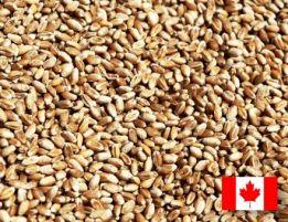 Фото 2. Семена пшеницы Канадская элита трансгенный сорт AMADEO