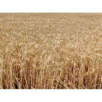Фото 3. Семена пшеницы Канадская элита трансгенный сорт AMADEO