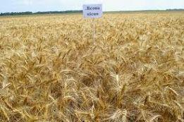 Фото 4. Семена пшеницы Канадская элита трансгенный сорт AMADEO