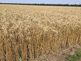 Фото 5. Семена пшеницы Канадская элита трансгенный сорт AMADEO
