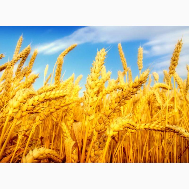 Фото 7. Семена пшеницы Канадская элита трансгенный сорт AMADEO