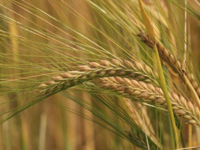 Фото 8. Семена пшеницы Канадская элита трансгенный сорт AMADEO