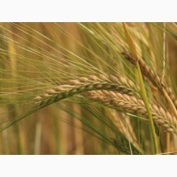 Семена пшеницы Канадская элита трансгенный сорт AMADEO