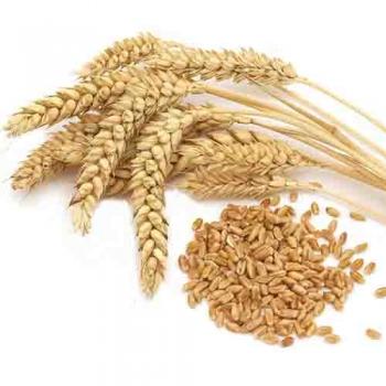 Фото 9. Семена пшеницы Канадская элита трансгенный сорт AMADEO