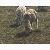 Овцы, овцематки