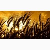 Оптова закупка проблемної пшениці