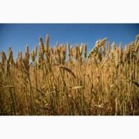 Закупка пшениці поганої якості. Вигідна ціна+самовивіз