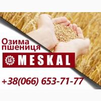 Інтенсивний, посухо - та зимостійкий сорт озимої пшениці Meskal (Лімагрейн)